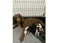 F2 cockapoo puppies for sale litter of 7 only 2 left !!