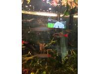 Tropical fish barbs, tetra etc