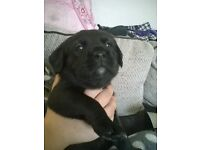 only two males left beautiful boxer cross labradors