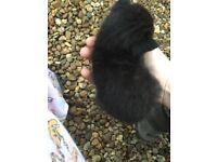 3 black male kittens ready 14-10-16