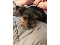 19 week old yorkie pup