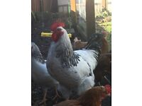 4 x cockerals roosters free to good home