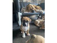 Bullmastiff/American Bulldog Puppies