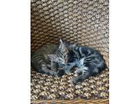 2 female tabby kittens for sale!!