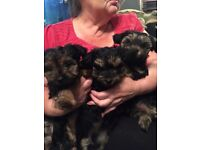 Yorkshire terrier female pups for sale