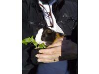 Male guinea pigs £10 each