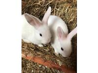 mix breed rabbits 12 weeks old