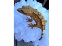 Crested gecko female