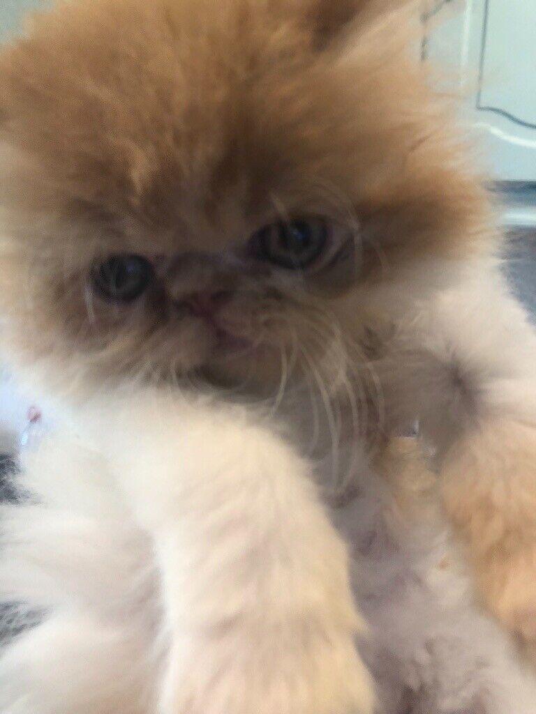 Persian kittens for sale | in Pitsea, Essex | Gumtree
