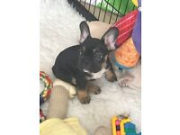 Beautiful Black/Tan Tri Colour French bulldog puppy boy carrying choc,cream & Blue, Health Tested