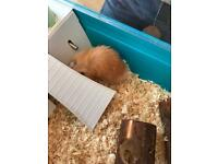Male hamster not even 1 year old