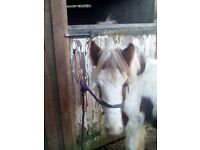 A Selection of Coloured Foals for Sale to make 14hh to 16hh