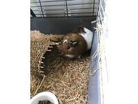 Friendly female Guinea pig