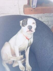 Gorgeous 10 month old puppy, American bull X amazing little boy