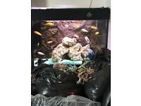 African Cichlids 25 for £70