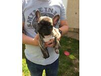 Kc reg French Bulldog pup