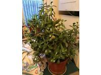 Money Plant (Jade Plant)