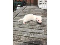 Baby ferrets for sale £10 each