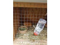 3 boar guniea pigs. Outdoor hutch indoor hutch and run included