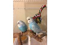 2 baby budgies (complete set) with cage £50