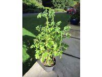 """Scented Leaved Geranium/Pelargonium """"Lemon Fancy"""""""
