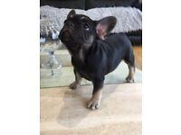 French bulldog Black and Tan girl