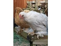 Bantam cockerels free to good home
