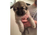 Chunky German Shepherd Puppies