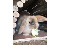 Baby bunny male for sale