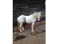 2 year old blue and white registered traditional gypsy cob gelding