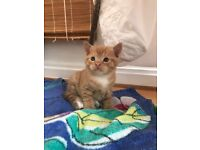 GORGEOUS GINGER KITTENS READY TO TAKE TODAY