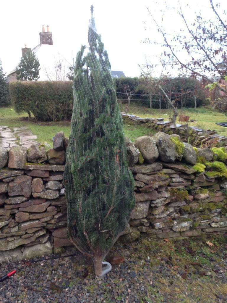 Lodgepole Pine 8ft free delivery Drumnadrochit
