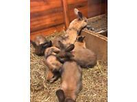 Harlequin baby rabbits