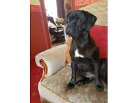 7 month black (boy) pug for sale £480 ono