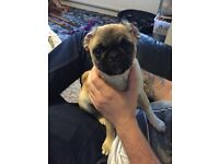 Beautiful 8 month old girl pug puppy