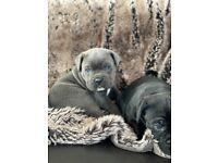 Stunning Cane Corso puppies