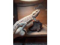 Bearded dragon and full vivarium set up for sale
