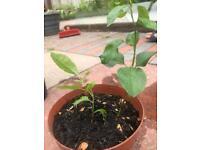 Kiwi or apple tree