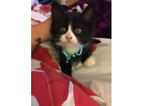 Junior cat/kitten