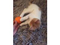 Adorable White and Ginger Kitten