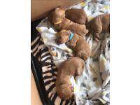 Fox red cockapoo puppies