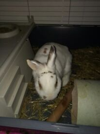 Lady Poppy for sale, Female house rabbit, Litter trained.