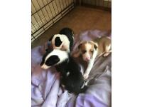 Puppy's for sale