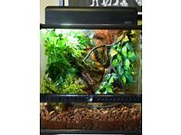 PAIR 3 YEAR OLD CRESTED GECKOS MEDIUM VIVARIUM FULLY KITTED REPASHAY FOOD CALCIUM SUPPLEMENT ETC