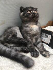 Pedigree British shorthair female kitten
