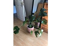 Monstera deliciosa (Swiss cheese plant) and terracotta pot