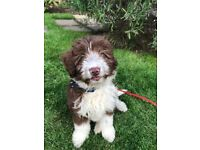 BorderPoo / ColliePoo Pup for sale