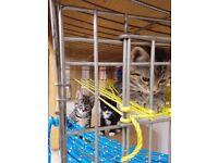 **Adorable, cute Bengal cross kittens**