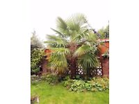 SOLD stc - Palm Tree (Chusan Palm/Chinese Windmill Palm/Trachycarpus fortunei)