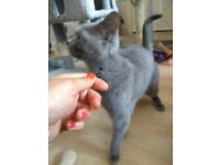 Beautiful British Shorthair Girl Cat/kitten for sale